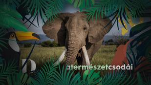 Az elefántoknak külön jelzésük alakult ki az emberi veszélyre