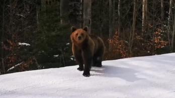 A medve nem játék, de szeret plázázni és sípályán barátkozni