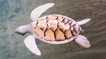Ritka albínó teknőst fedeztek fel