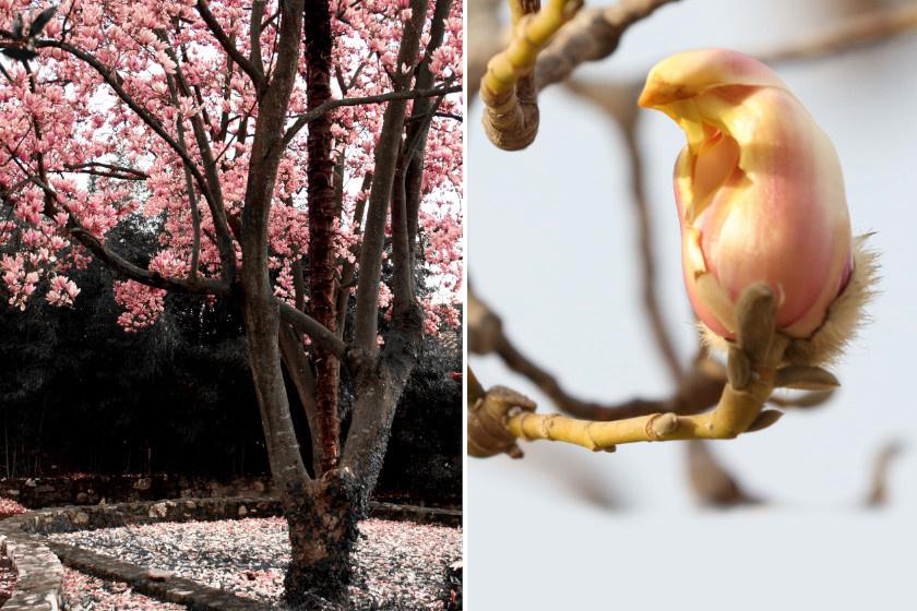 A magnóliafa (Magnolia denudata) virága a megfelelő szögből nézve épp olyan, mint egy kicsi madár. A növény már a lombfakadás előtt virágot bont.