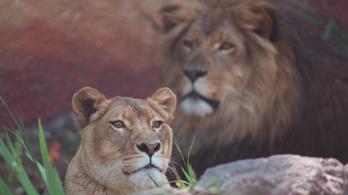 Elaltatták Cookie-t, a 22 éves oroszlánt