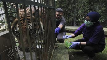 Helikopterrel tért haza egy szumátrai tigris