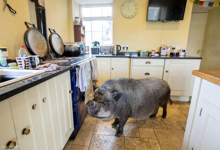 Morag Sangster és férje, John Ryan továbbra is a lakásban tartják Franciscót, tekintve, hogy az állat ehhez szokott hozzá malackorában: jobban szeret bent lenni.