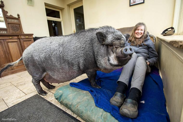 Ez is Francisco, itt már 130 kilós az egykor törpemalacnak eladott állat, mellette ül új gazdája, Morag Sangster.