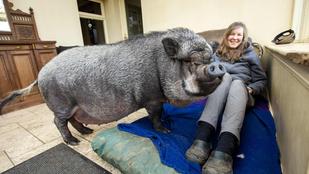 Törpemalacnak vették, 130 kilós disznó lett belőle