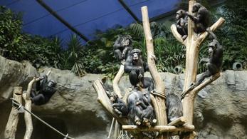 Unatkoznak a csimpánzok Csehországban, valóságshow-val szórakoztatják őket
