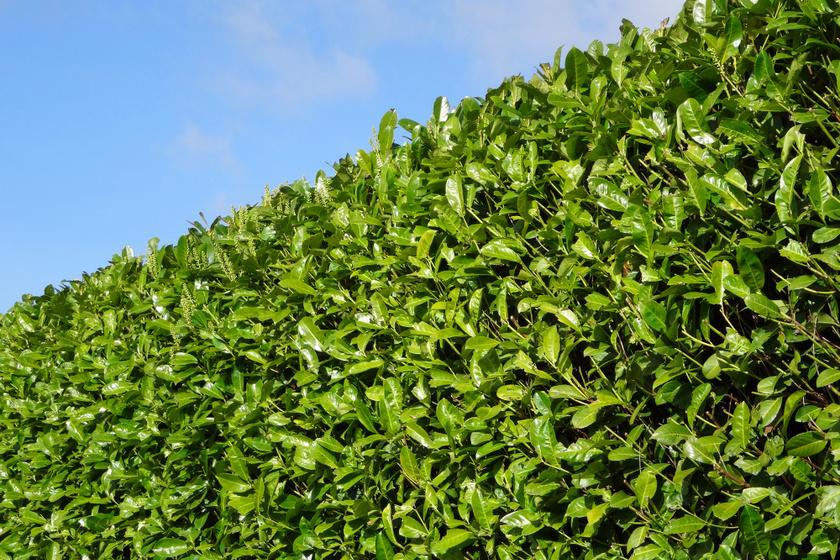 A balkáni babérmeggy, Prunus laurocerasus, különböző fajtákban kapható, a Prunus laurocerasus 'Baumgartner' vagy Prunus laurocerasus 'Novita' igazán magas sövényfallá nőhetik ki magukat, 3-5 méteresek is lehetnek. A cserje bogyói a kertbe csalogatják a madarakat is. Minimális gondozást igényel, ültetéskor érdemes félárnyékos helyet választani, de locsolni csak a szárazabb évszakokban szükséges.
