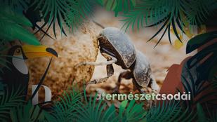 Szorgosak és hiszékenyek: így szedi rá egy ravasz növény a ganajtúró bogarakat