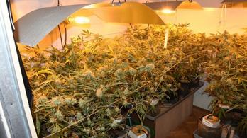 Bérelt lakásban termesztette a kábítószert