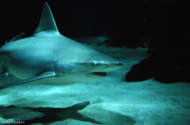 Homokpadi cápa