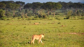 Oroszlánokat mérgezhettek meg egy ugandai nemzeti parkban
