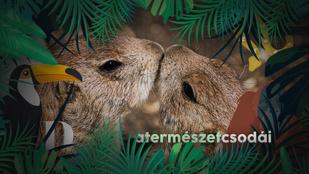 Mai cuki: öleléssel és puszival köszöntik egymást a prérikutyák