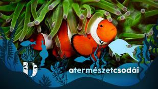 A bohóchalak mindig hímnek születnek, de képesek megváltoztatni a nemüket