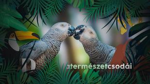 Miért utánozza a papagáj az emberi beszédet?