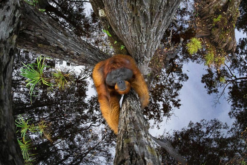 A versenyt a kanadai Thomas Vijayan nyerte, aki Borneóban készítette a képet az orangutánok egyik utolsó természetes élőhelyén. A fotós órákat várt a tökéletes pillanatra, de sikerült egy remek képet készítenie a populáció egyik tagjáról.