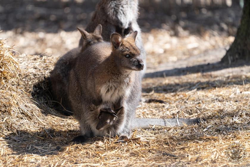 bennett-kenguru