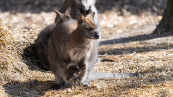 Kis kenguru született a debreceni állatkertben