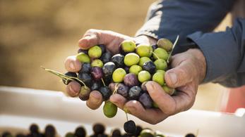Olívaültetvény a Balaton-felvidéken