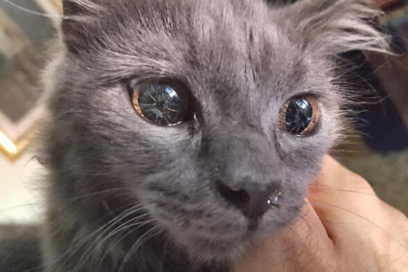 Ennek a macskának genetikai mutációja van, ami ugyan a látását semmiben sem akadályozza, szeme kinézetét mégis nagyon különlegessé varázsolta.