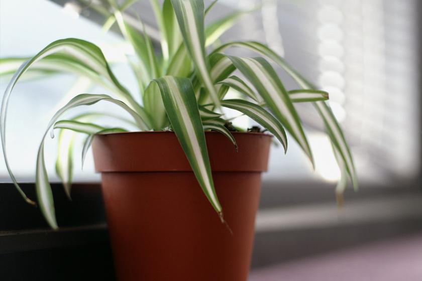 A zöldikét (Chlorophytum comosum) nagyon jó légtisztító növényként tartják számon, ami gyorsan nő, könnyen életben tartható, így a kezdő kertészek is megpróbálkozhatnak vele. Ráadásul a háziállatok számára sem veszélyes. Az egyik leggyakoribb beltéri szennyező, a formaldehid eliminálását segítheti.