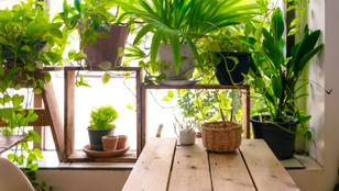 Mire futtassam fel a szobanövényeket, hogy tényleg a szoba díszei legyenek?