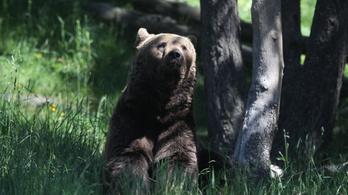 Rekordszámú barnamedvét számoltak össze a Pireneusokban