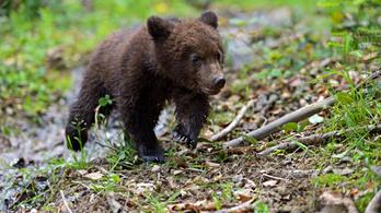 Így legyen jó fej: 740 ezres büntetés a medvebocsok megmentéséért