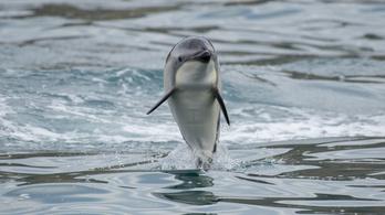 Rengeteg delfin teteme sodródott partra Ghánában