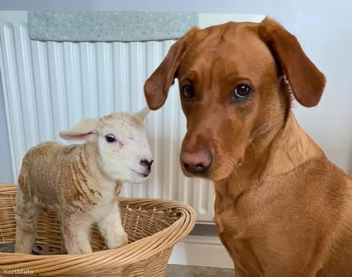tk3s swns lamb dog 01