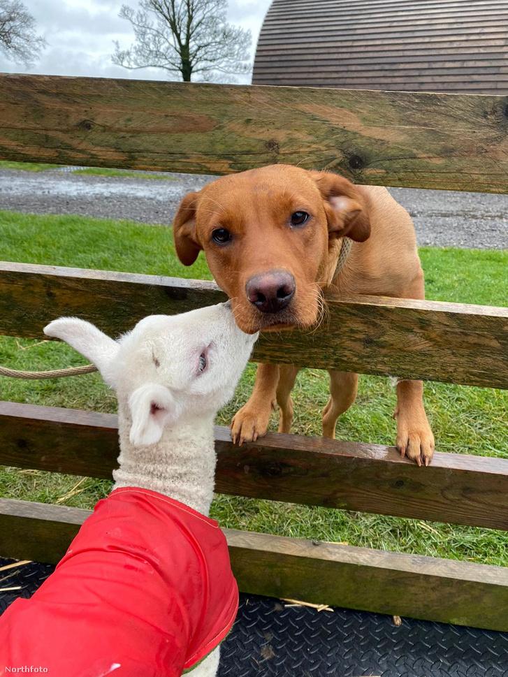tk3s swns lamb dog 04