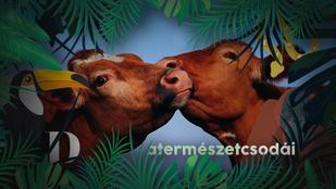 Befordulnak a tehenek, ha elválasztják őket a legjobb barátjuktól