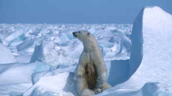 Nem túl tehetséges tojásrablók a jegesmedvék