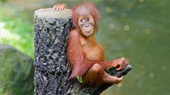 Árva orangutánkölyköket mentettek Borneón