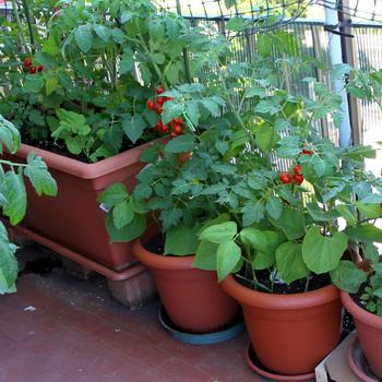 Mit lehet megtermelni a balkonon? Epret, de paradicsomot is nevelhetsz az erkélyen