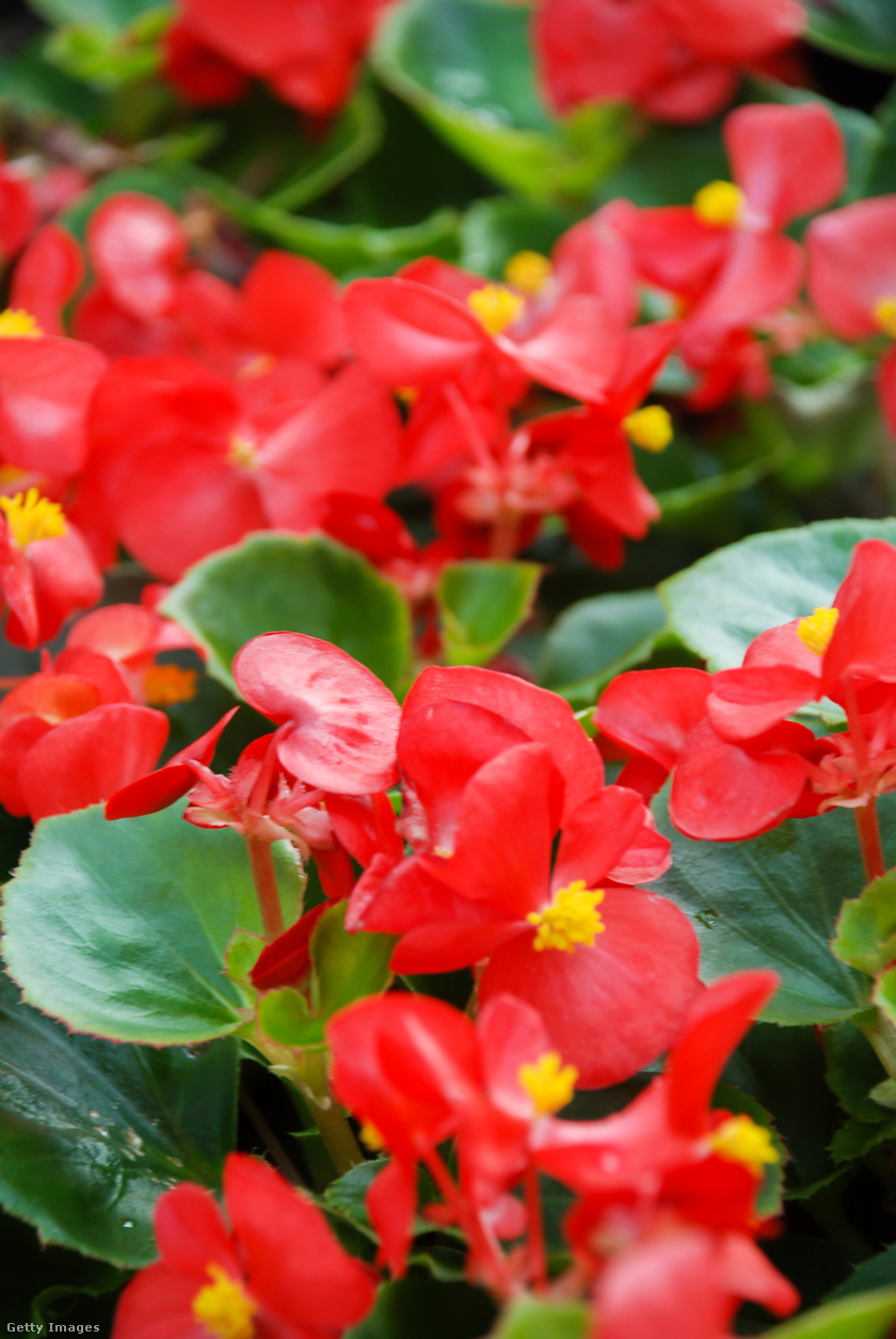 A begónia, Begonia semperflorens, szívós virág, és elméletileg egynyári növény, gyakorlatilag az időjárás-változás miatt akár évelővé is válhat hazánkban. Különböző színekben kapható a gyönyörű dísznövény, amit tavasszal, pontosabban májusban érdemes ültetni a kertben, így akár egészen novemberig virágozhat. Fényigénye magas, de locsolni csak a szárazabb időszakokban kell.