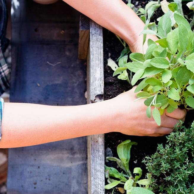 Friss zöldfűszerek egész évben? Sok pénzt megspórolhatsz egy saját fűszerkerttel