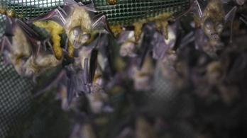 Brit denevérekben is felfedezték a koronavírust