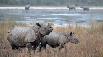Gyarapodott a nepáli orrszarvúállomány