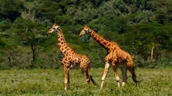 Kilenc ritka zsiráfot mentettek meg Kenyában
