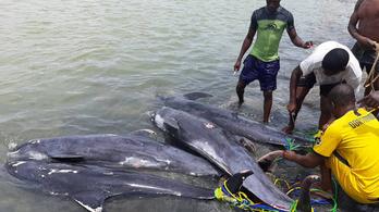 Alacsony oxigénkoncentráció okozhatta a mintegy 60 delfin pusztulását Ghánában