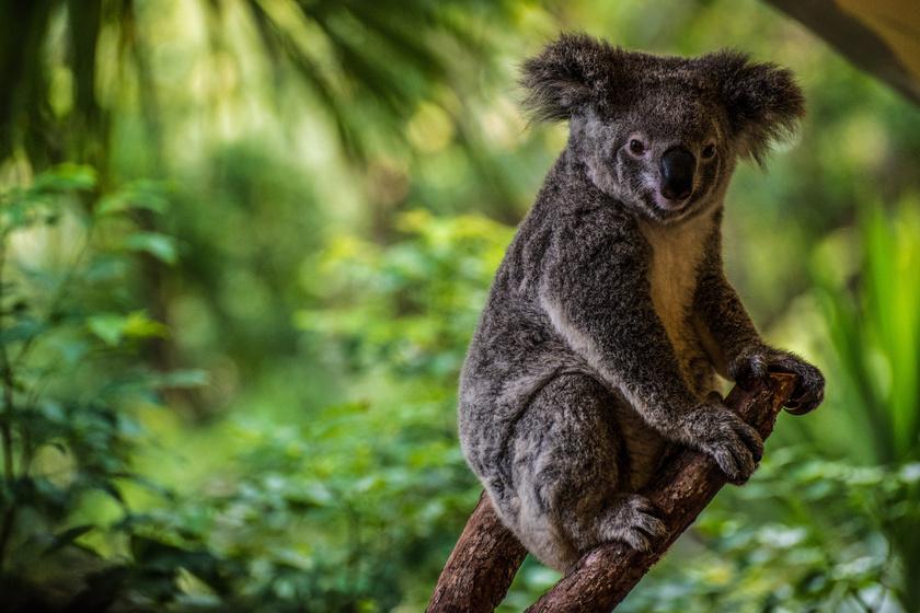 Talán sokan nem is hinnék, de az egyik leglassabb lény a koala (Phascolarctos cinereus), melyet tévesen koala mackónak hívnak. Ideje jó részét a fákon tölti, és nem mozog otthonosan a talajon. Lassú mozgásának másik oka, hogy nem lát túl jól. Hallása és szaglása ugyanakkor kiváló. Sebessége 5 km/óra, ritkán szokott nagyobb lendületet venni, akkor eléri a 30 km/órát is.