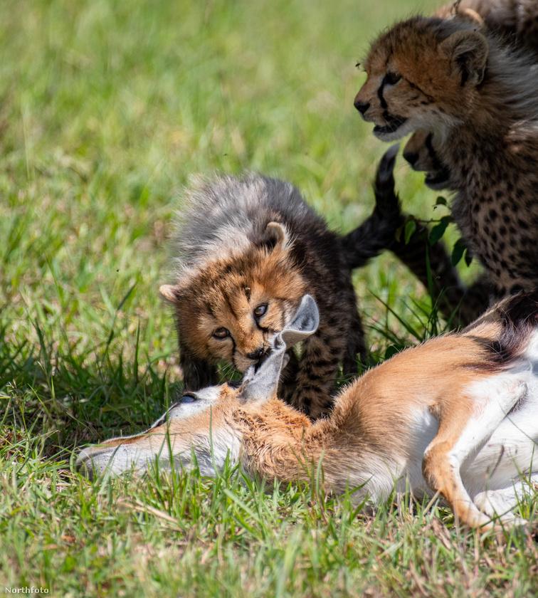Ez a gepárdkölyök a szülei által elejtett gazella fülét csócsálgatja éppen.