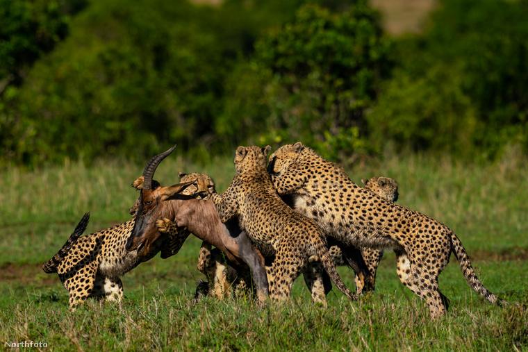 Itt a helyszín már Kenya, és egy csapat gepárd kapott el egy antilopot.