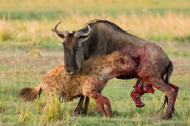 Ez a hiéna a legérzékenyebb pontján támadta meg sikeresen a gnút.