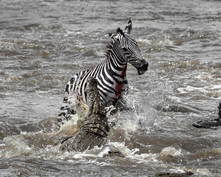 Ez a példány azonban mázlista volt: bár a hüllő véresre harapta a nyakát, a zebrának sikerült elmenekülnie.