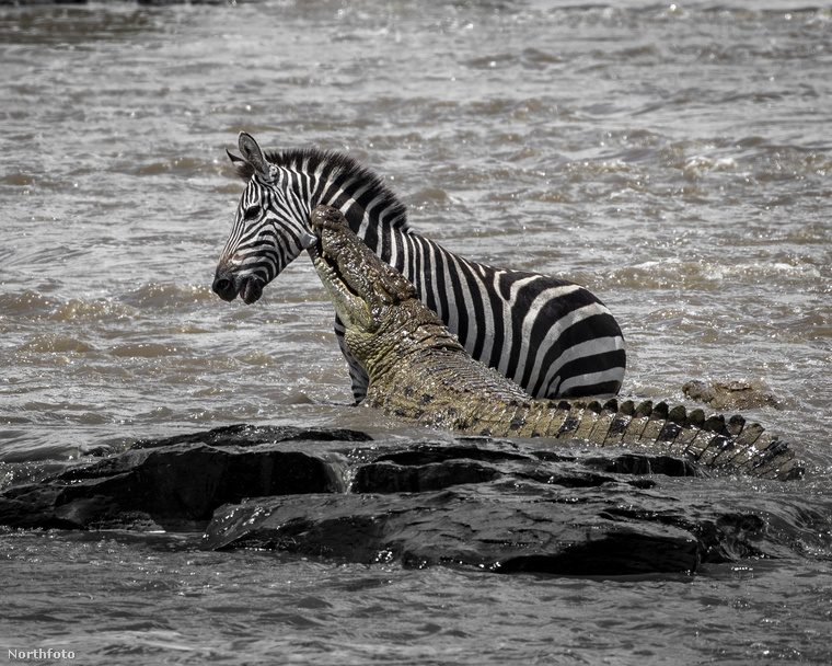 Nem sok jót jósol az ember ezek után annak a zebrának sem, aki megintcsak Kenyában egyszercsak egy krokodillal futott össze.