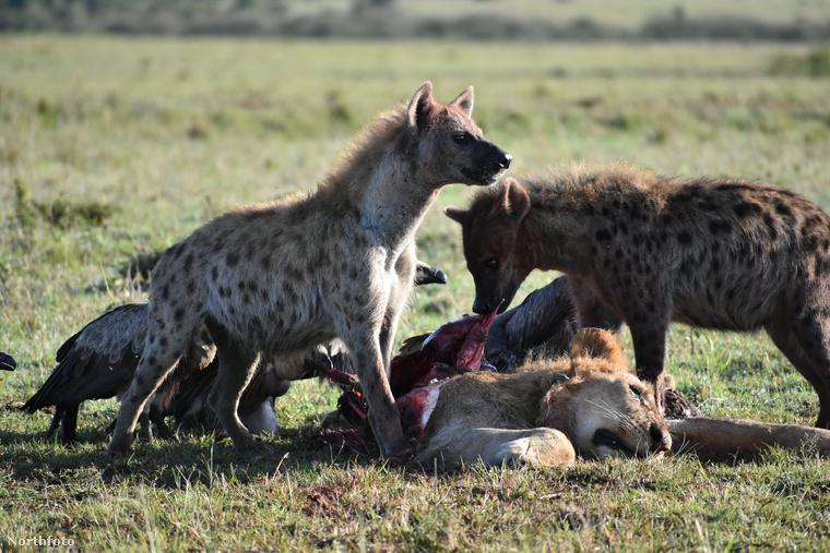 Még mindig Kenya és még mindig hiénák, de ez egy másik eset: itt egy elhullott oroszlán szétmarcangolt tetemét eszik a hiénák.