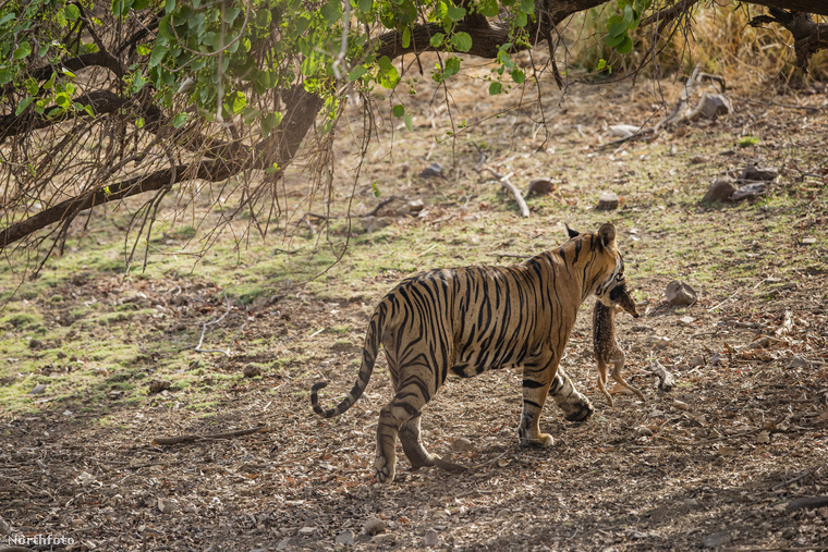 Bejött a papírforma: az őzike nem élte túl a tigrissel való találkozást az indiai fotós kamerája előtt
