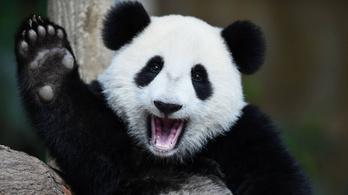Lefilmezték az igazi Kung Fu Pandákat