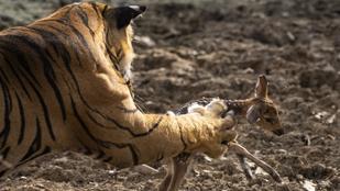 14 drámai természetfotó: a csúcsragadozók nem ismernek kegyelmet